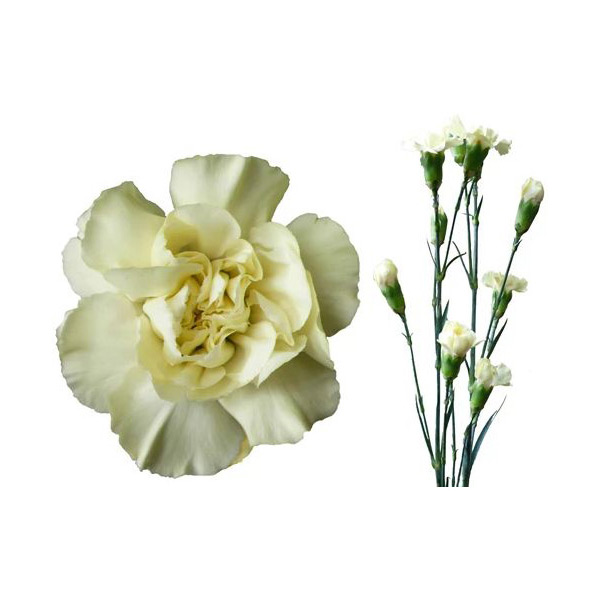 40427ce9359b Spray Carnations - Bloom Flower